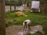 Herdershond (1)